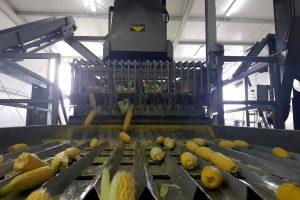 Corn husker for corn husking, removing of leaves, Husking, peeling of product, odlisťovanie kukurice, odlisťovač kukurice, sweet corn husker, husking machine, corn processing machine, sweet corn peeling machine, sweet corn husking machine,